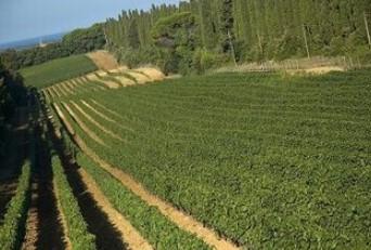 カステッロ ディ ボルゲリの畑