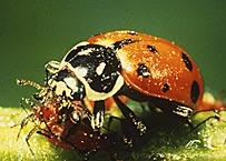 害虫を食べてくれるてんとう虫の一種