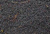 収穫直後の葡萄
