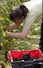 ドメーヌ ローランの収穫風景