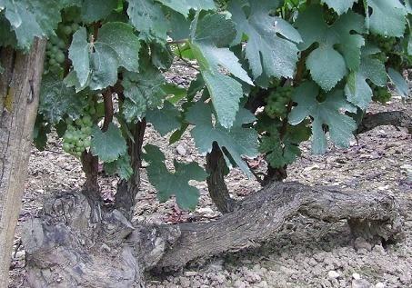 「皇帝の葡萄」