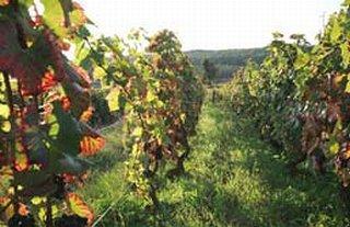 ドミニク ローランの葡萄畑