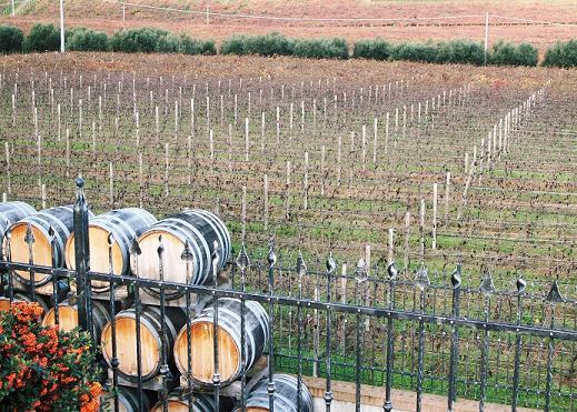 マラミエーロ ブリュト スプマンテ ピノ ネロの畑