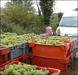 葡萄の確認作業中のフィリップ・ブルノ