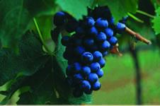 Colli Bericiの葡萄