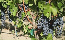 クウィルセダ クリークの葡萄