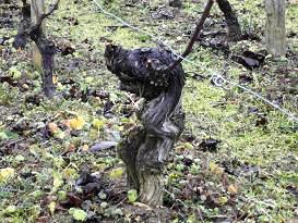 ドメーヌ・サンジャック 樹齢100年以上の古木