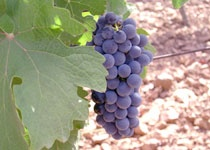 トゥア・リータの葡萄